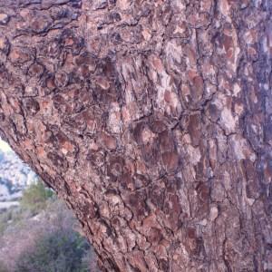 Photographie n°53884 du taxon Pinus halepensis Mill. [1768]