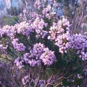 Photographie n°53885 du taxon Erica multiflora L.