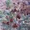 Genevieve Botti - Cistus albidus L.