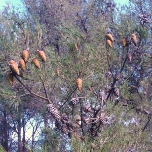 Photographie n°53900 du taxon Pinus halepensis Mill. [1768]