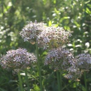 Photographie n°53937 du taxon Allium nigrum L.