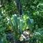 Liliane Roubaudi - Allium nigrum L.