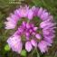 Liliane Roubaudi - Allium roseum L. [1753]