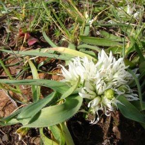 Photographie n°53956 du taxon Allium chamaemoly L. [1753]