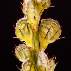 Photographie n°53997 du taxon Onobrychis viciifolia Scop.