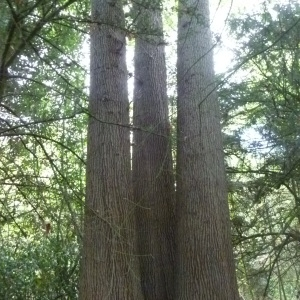 Photographie n°54008 du taxon Quercus robur L. [1753]