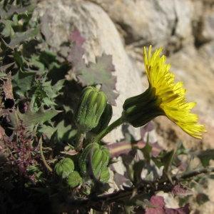 Sonchus asper (L.) Hill subsp. asper (Laiteron épineux)