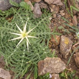 Photographie n°54039 du taxon Centaurea calcitrapa L. [1753]