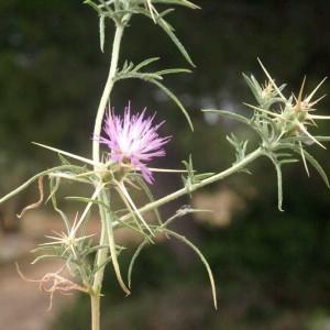 Photographie n°54040 du taxon Centaurea calcitrapa L. [1753]