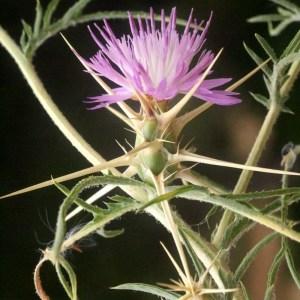 Photographie n°54041 du taxon Centaurea calcitrapa L. [1753]