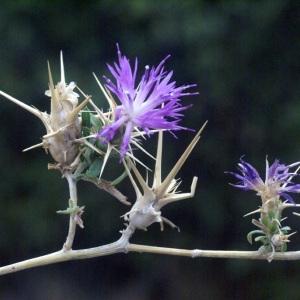Photographie n°54042 du taxon Centaurea calcitrapa L. [1753]