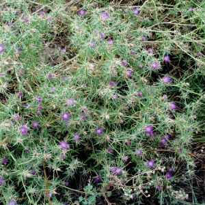Photographie n°54044 du taxon Centaurea calcitrapa L. [1753]