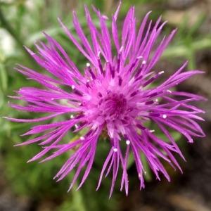 Photographie n°54048 du taxon Centaurea corymbosa Pourr. [1788]