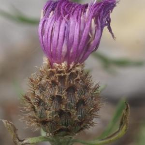 Photographie n°54049 du taxon Centaurea corymbosa Pourr. [1788]