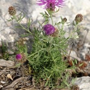 Photographie n°54050 du taxon Centaurea corymbosa Pourr. [1788]