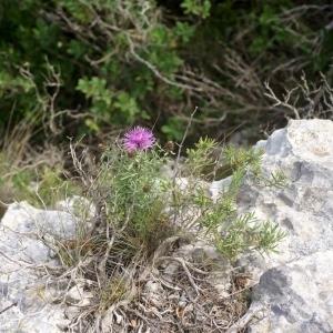 Photographie n°54051 du taxon Centaurea corymbosa Pourr. [1788]