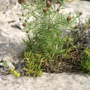 Photographie n°54053 du taxon Centaurea corymbosa Pourr. [1788]