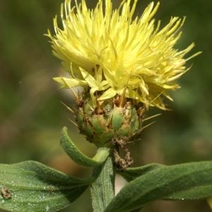 Photographie n°54054 du taxon Centaurea L. [1753]