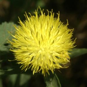 Photographie n°54056 du taxon Centaurea L. [1753]