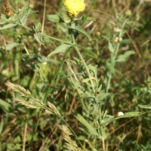 Photographie n°54057 du taxon Centaurea L. [1753]