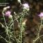 Liliane Roubaudi - Centaurea aspera L.