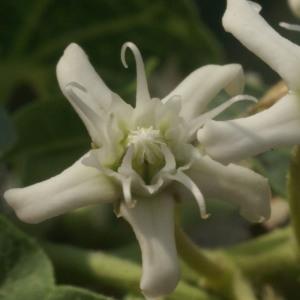 Cynanchum acutum L. (Scammonée aiguë)