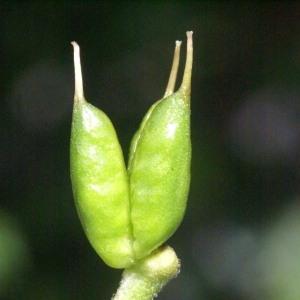 Photographie n°54095 du taxon Aconitum vulparia Rchb. [1819]