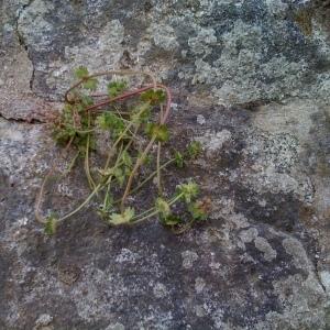 Photographie n°54115 du taxon Lamium amplexicaule L. [1753]