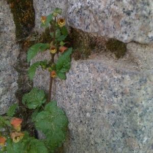- Scrophularia trifoliata L. [1759]