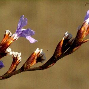 Photographie n°54138 du taxon Limonium virgatum (Willd.) Fourr. [1869]