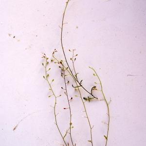 Photographie n°54178 du taxon Hymenolobus procumbens (L.) Nutt. ex Schinz & Thell. [1921]