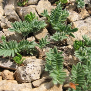 Photographie n°54186 du taxon Bupleurum baldense Turra