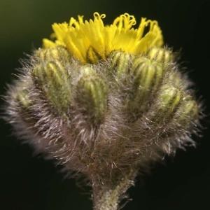 Photographie n°54194 du taxon Hieracium cymosum L. [1763]