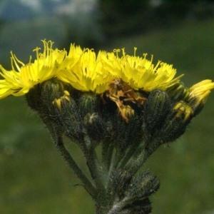 - Hieracium cymosum L. [1763]