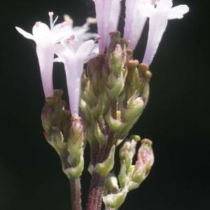 Photographie n°54212 du taxon Valeriana tuberosa L.