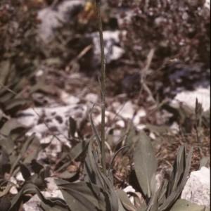 Photographie n°54218 du taxon Serratula nudicaulis (L.) DC.