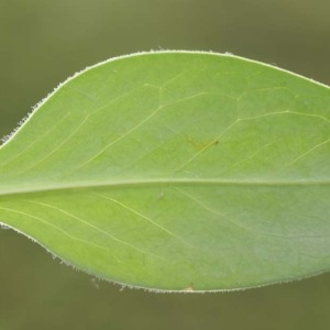Photographie n°54222 du taxon Serratula nudicaulis (L.) DC.