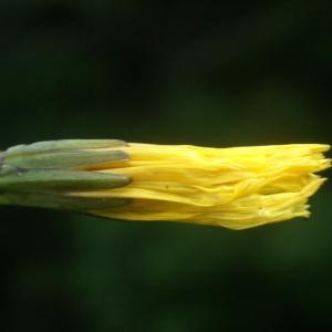 Aposeris foetida (L.) Less. (Aposéris fétide)