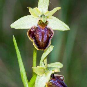 Photographie n°54298 du taxon Ophrys aranifera Huds. [1778]