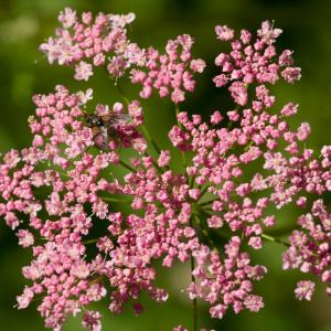 Pimpinella major var. rubra (Hoppe ex Schleich.) Thell. (Boucage rouge)