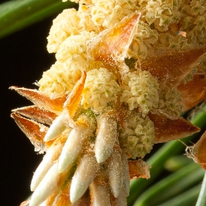 Photographie n°54384 du taxon Pinus sylvestris L. [1753]