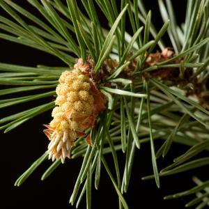 Photographie n°54385 du taxon Pinus sylvestris L. [1753]