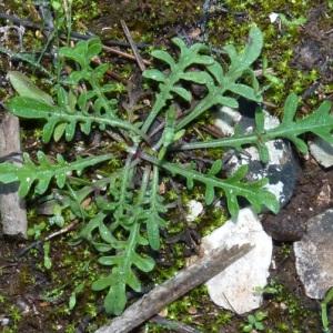 Photographie n°54432 du taxon Centaurea paniculata L. [1753]