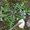 Bertrand BUI - Centaurea paniculata L.