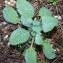 Bertrand BUI - Salvia sclarea L.