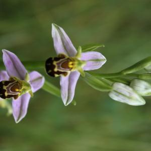 Photographie n°54455 du taxon Ophrys apifera Huds. [1762]