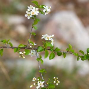 Photographie n°54510 du taxon Prunus mahaleb L.