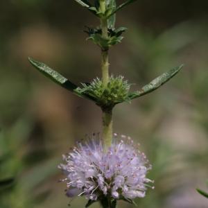 Mentha cervina L. (Menthe des cerfs)