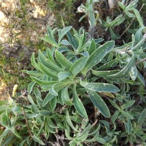 Photographie n°54568 du taxon Silene vulgaris subsp. maritima (With.) Á.Löve & D.Löve [1961]