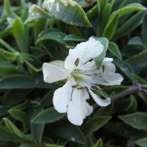 Photographie n°54570 du taxon Silene vulgaris subsp. maritima (With.) Á.Löve & D.Löve [1961]